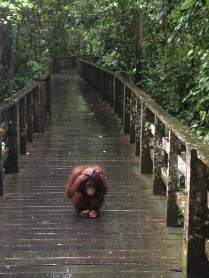 Orangutan covers its head in the rain
