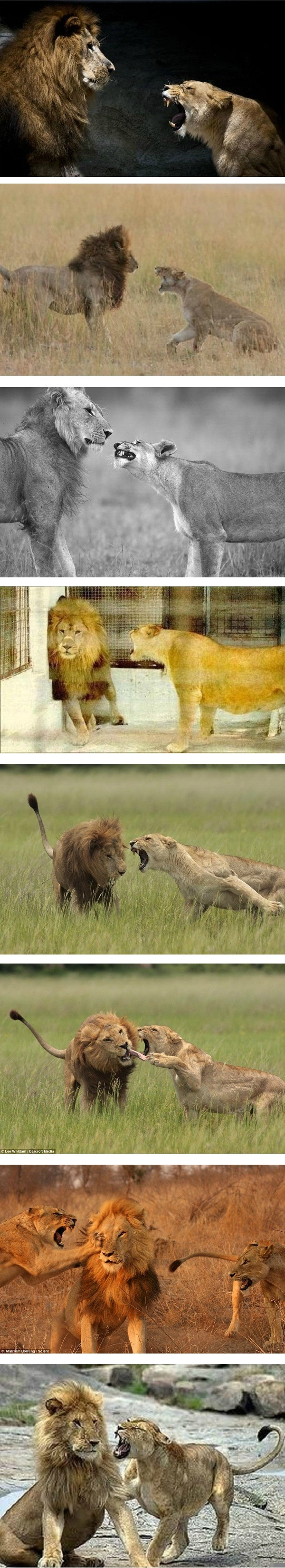 male lion gets abused by his female spouse