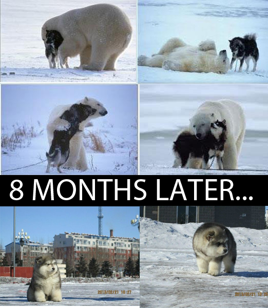 wolf and bear fall in love and have a wolfbear hybrid 8 months later