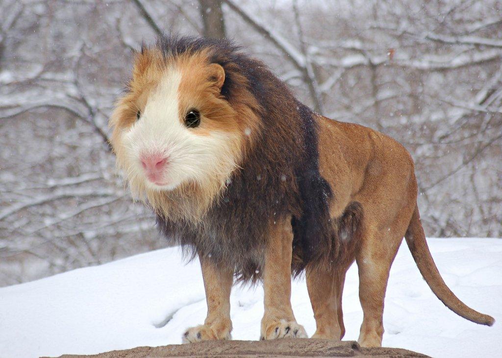 A guinea pig's head is photoshopped onto a lion's body to create the Guinea Lion hybrid.