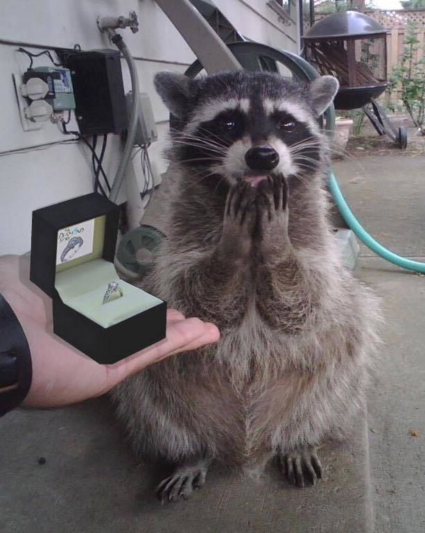 Raccoon covers his mouth with his two hands as a human presents a wedding ring.